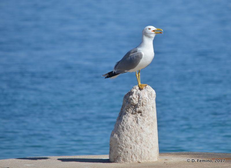 A guardian seagull (Preko, Croatia, 2017)