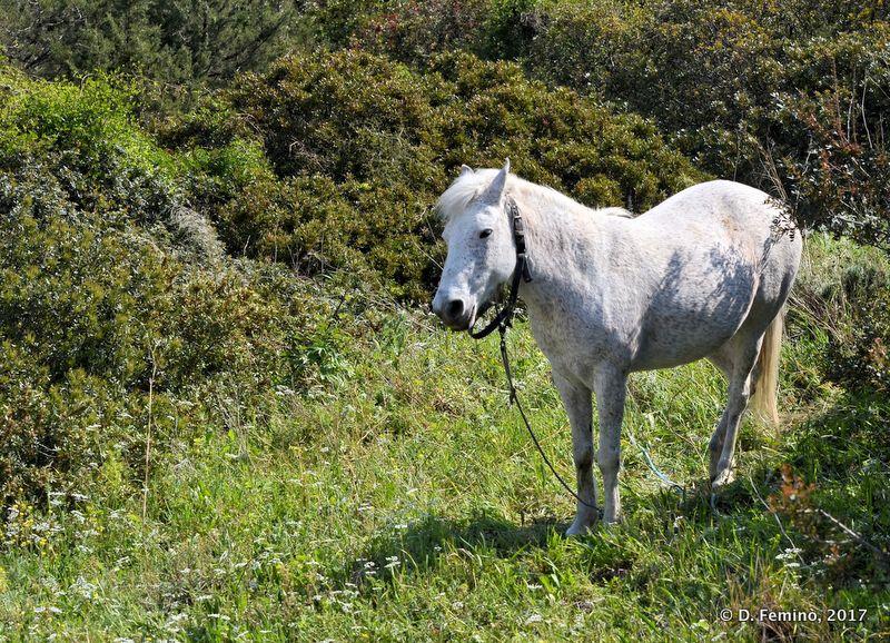 A white horse (Hvar, Croatia, 2017)