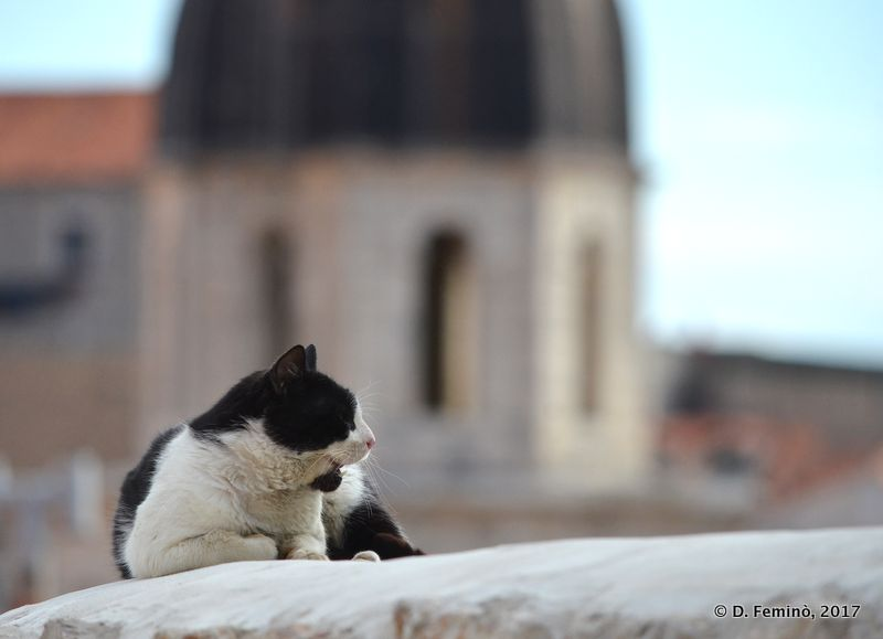 Cat on Dubrovnik roofs (Croatia, 2017)