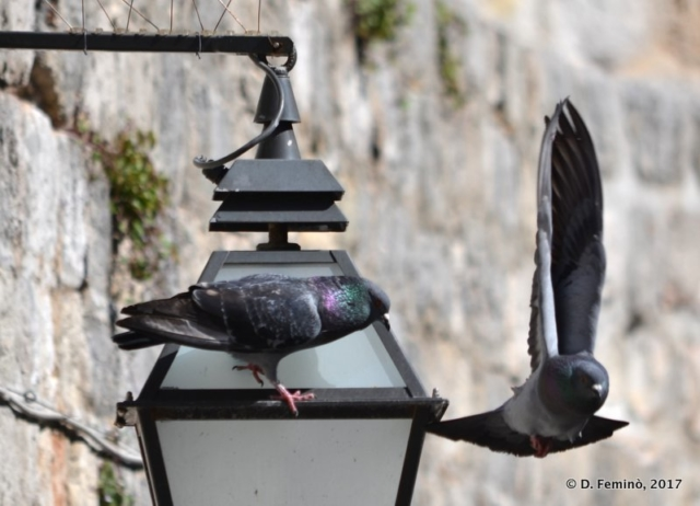 Pigeons taking off (Dubrovnik, Croatia, 2017)