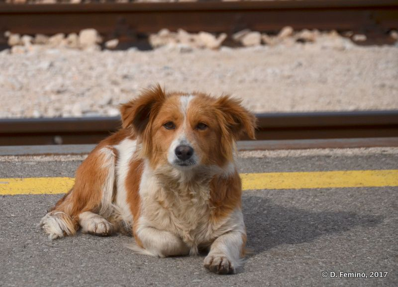 Dog at railway station (Nikšić, Montenegro, 2017)
