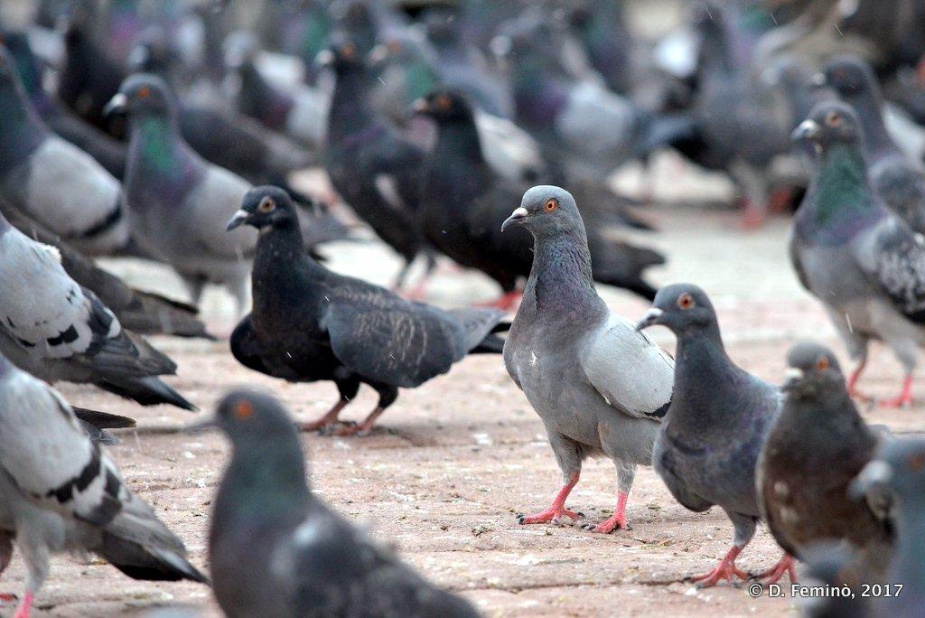 Mongolian pigeons (are like the others..), Ulaanbaatar