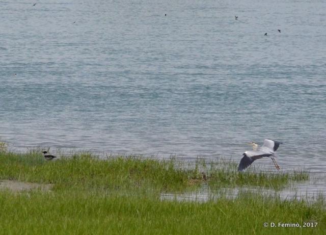 Landing stork (Lake Skadar, Albania, 2017)