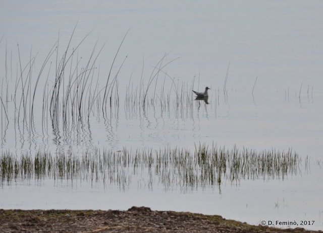 A bird among the canes (Lake Skadar, Albania, 2017)
