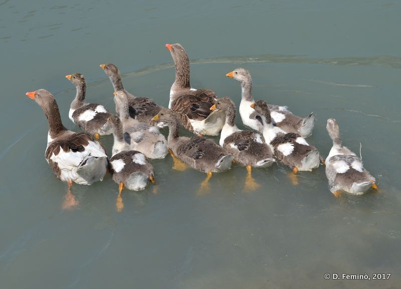 Group of ducks in the stream (Apollonia, Albania, 2017)