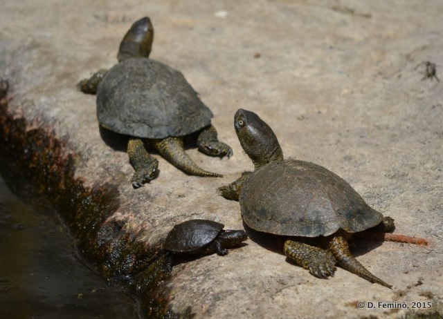 Turtle family (Butrint, Albania, 2017)