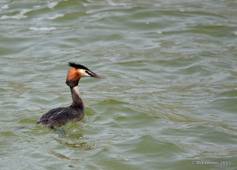 Great crested grebe in the lake (Ioannina, Greece, 2017)