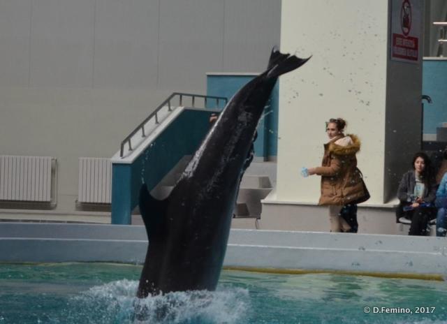 Plunging (Dolphinarium, Constanța, Romania, 2017)