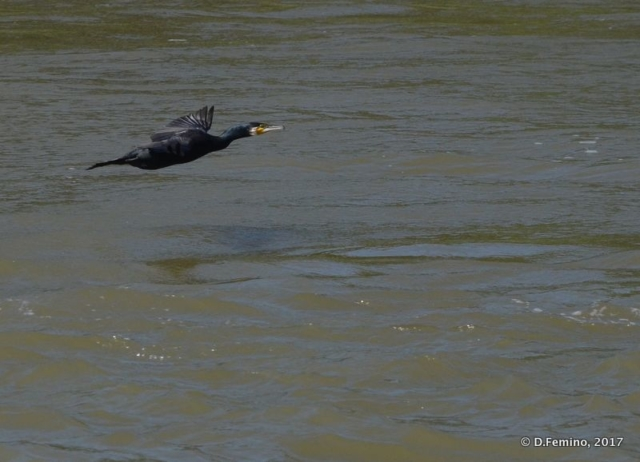 A cormorant flying over the water (Danube delta, Romania, 2017)