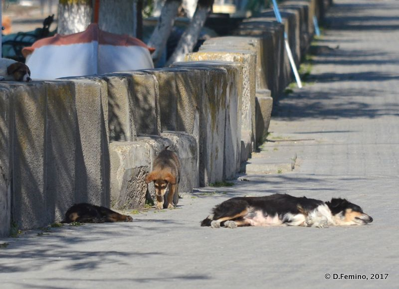 Stray dogs in the street (Sulina, Romania, 2017)