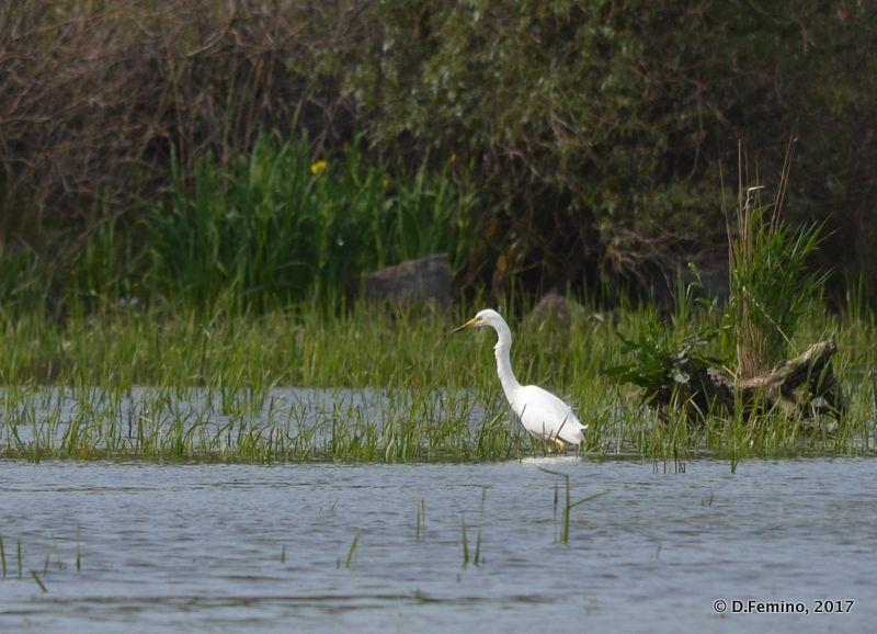 Heron (Danube delta, Romania, 2017)