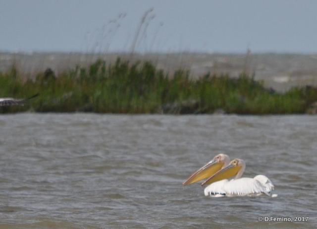 Pelicans in profile (Danube delta, Romania, 2017)