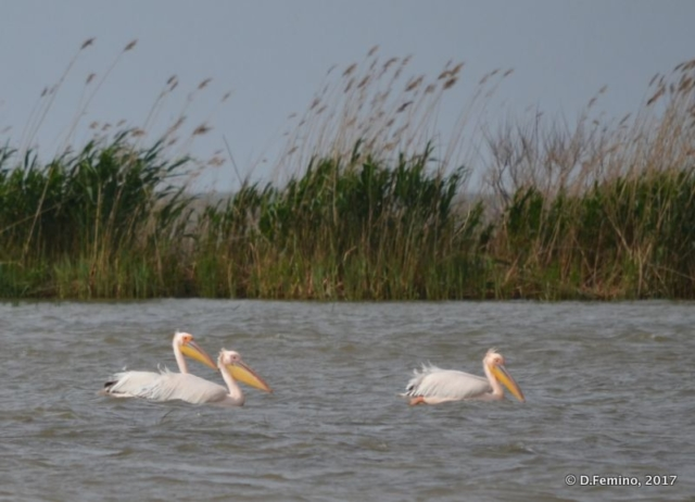 A group of pelicans (Danube delta, Romania, 2017)