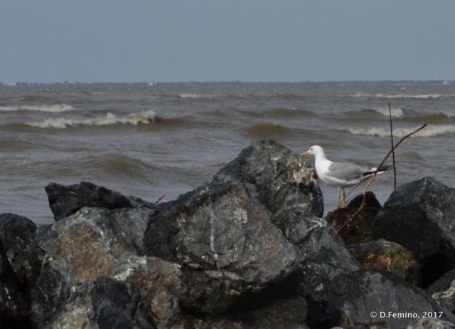 Lonely seagull (Danube delta, Romania, 2017)