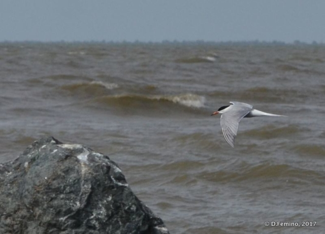 Seagull and waves (Danube delta, Romania, 2017)
