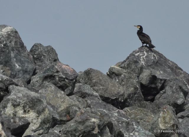 A resting cormorant (Danube delta, Romania, 2017)