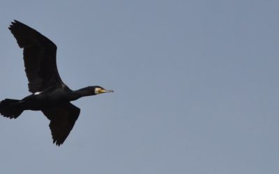Cormorant flying in Danube Delta