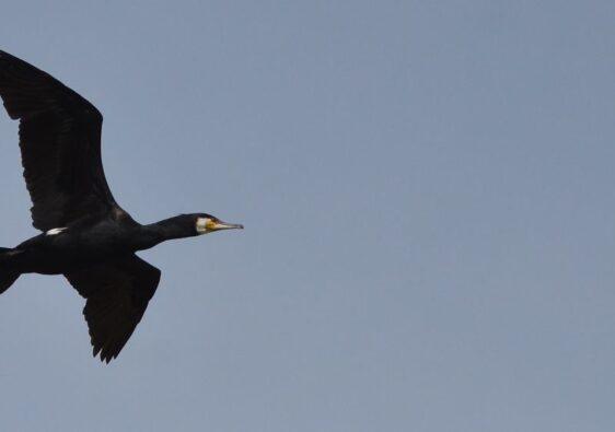 Cormorant flying in Danube Delta