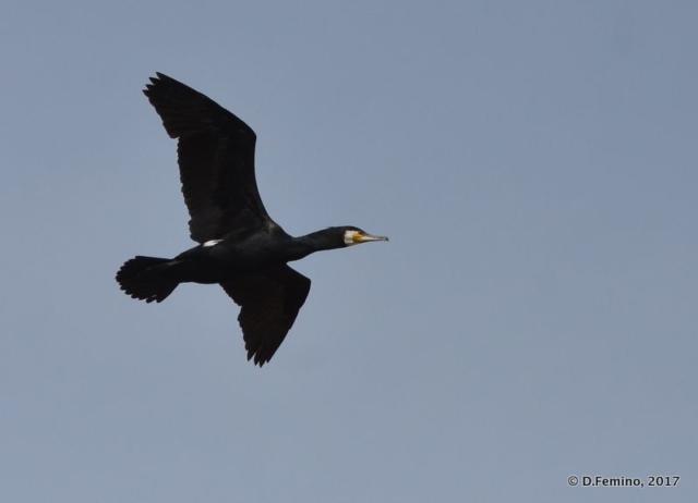 A flying cormorant (Danube delta, Romania, 2017)