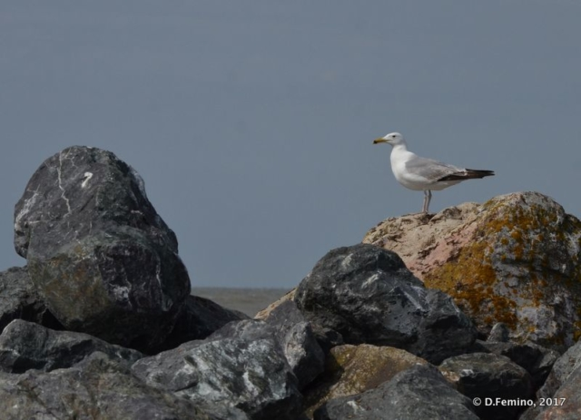 Seagull on a rock (Danube delta, Romania, 2017)