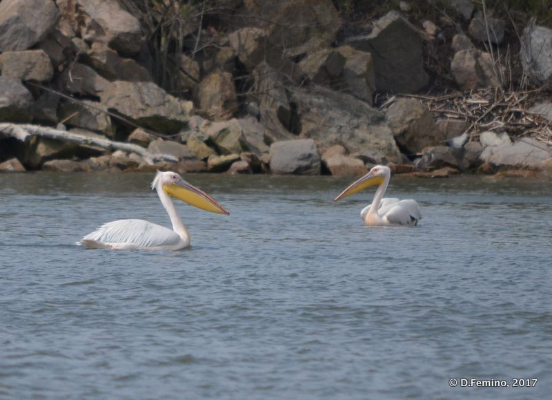 A couple of pelicans (Danube delta, Romania, 2017)