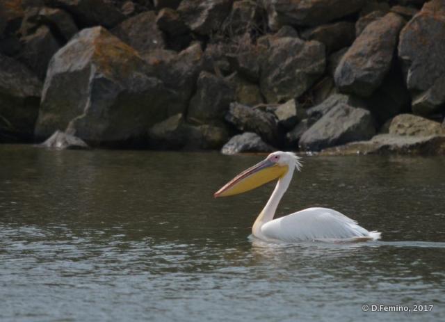 A pelican (Danube delta, Romania, 2017)