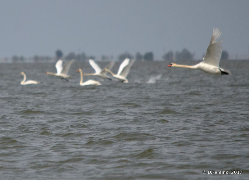 Geese taking off (Danube delta, Romania, 2017)
