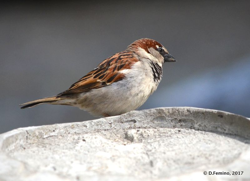 Sparrow (Sulina, Romania, 2017)