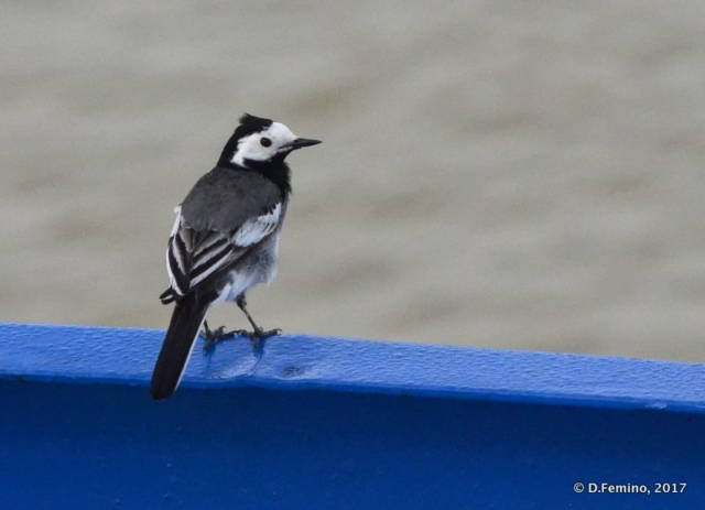 A white wagtail taking rest on a boat (Danube delta, Romania, 2017)