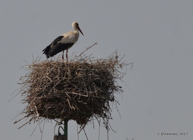 A stork in its nest (Danube delta, Romania, 2017)