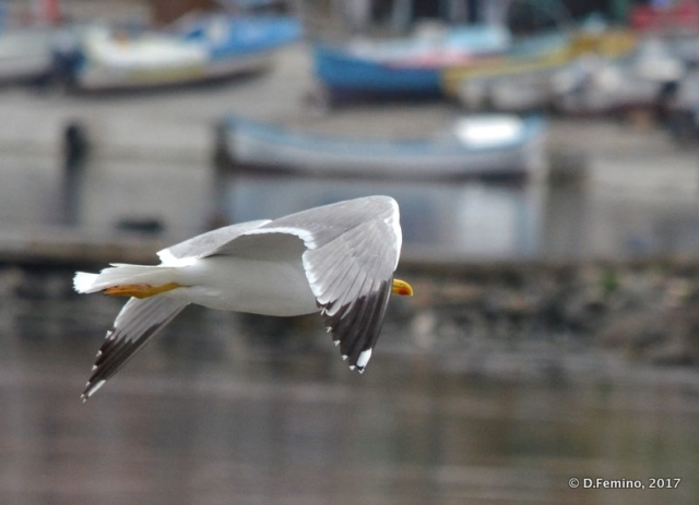 Seagull flying over the harbour (Nesebar, Bulgaria, 2017)