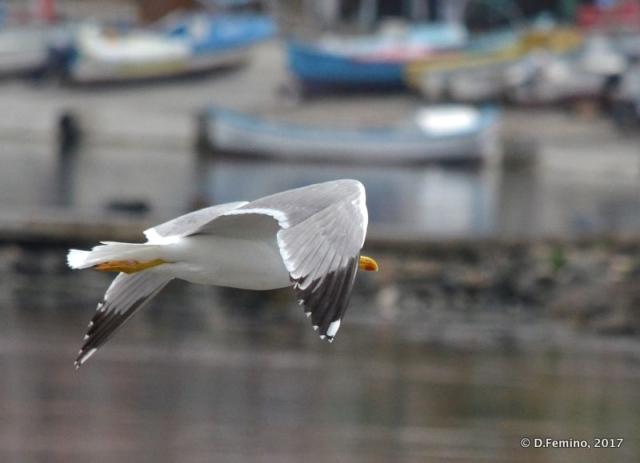 Seagull flying over the harbour (Nesebar, Bulgaria, 2017)