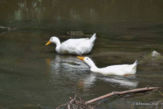 White ducks (Butuceny, Moldova, 2017)