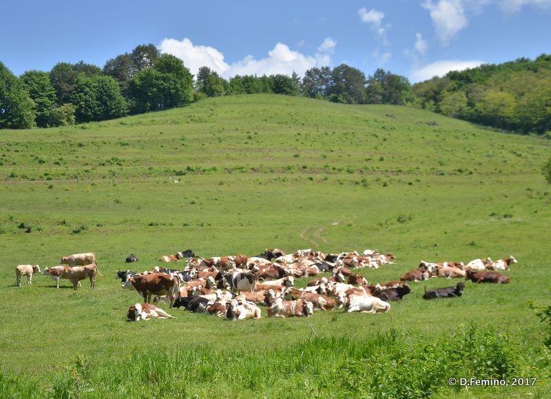 Transylvanian cattle (Romania, 2017)