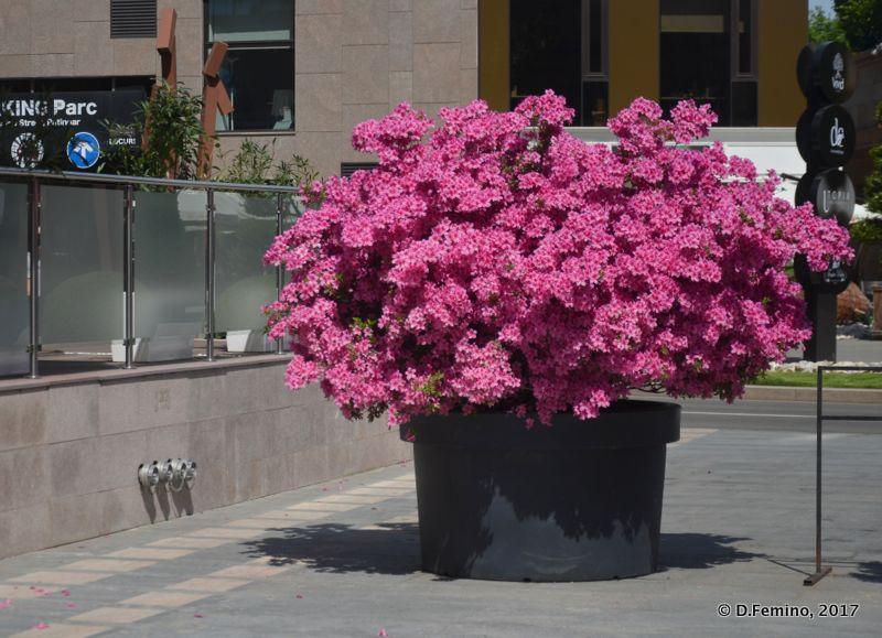 Red flower tree (Iași, Romania, 2017)