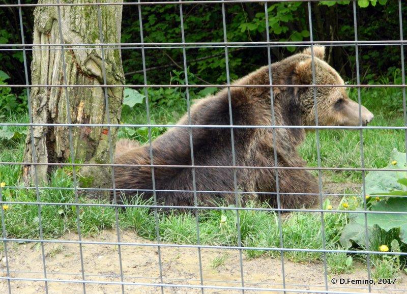 Sitting bear (Bear Sanctuary, Romania, 2017)