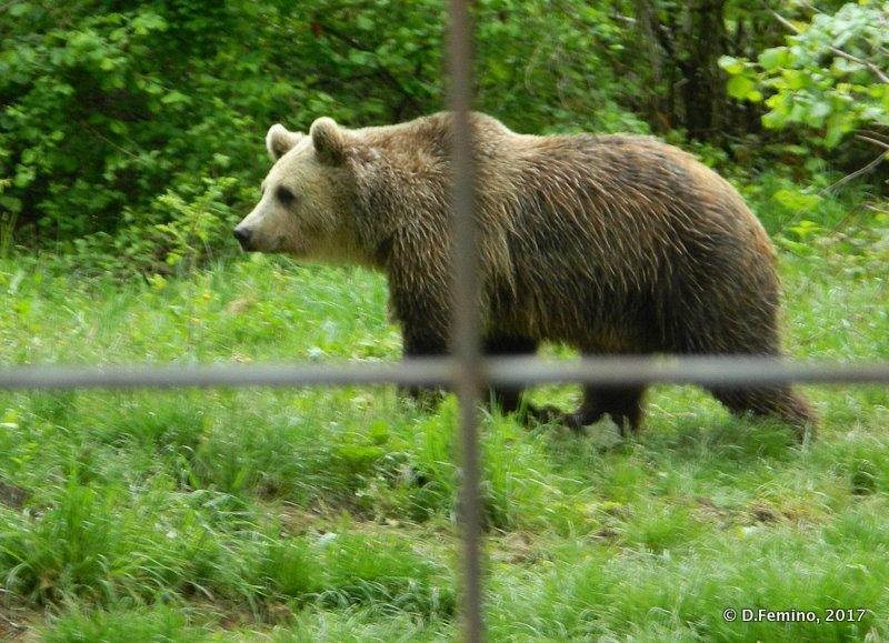 Looking around (Bear Sanctuary, Romania, 2017)