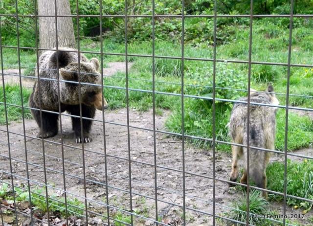 A bear and an old wolf (Bear Sanctuary, Romania, 2017)