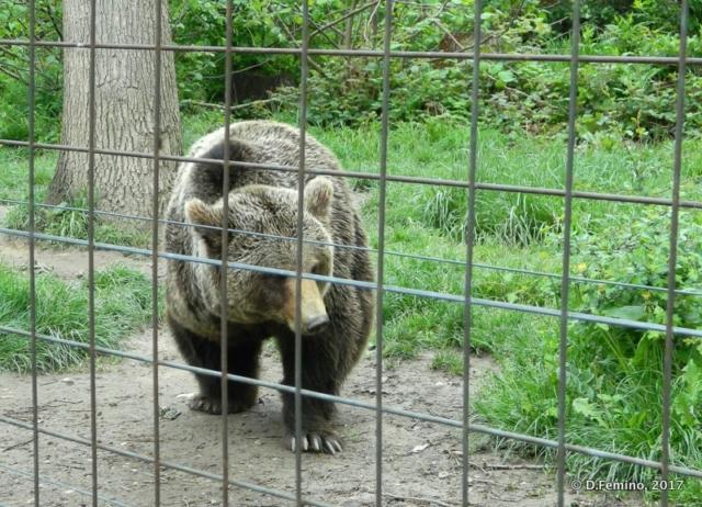 Approaching the net (Bear Sanctuary, Romania, 2017)