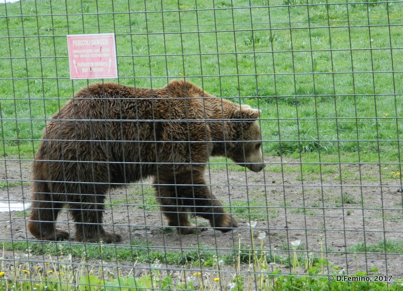 Strolling around (Bear Sanctuary, Romania, 2017)
