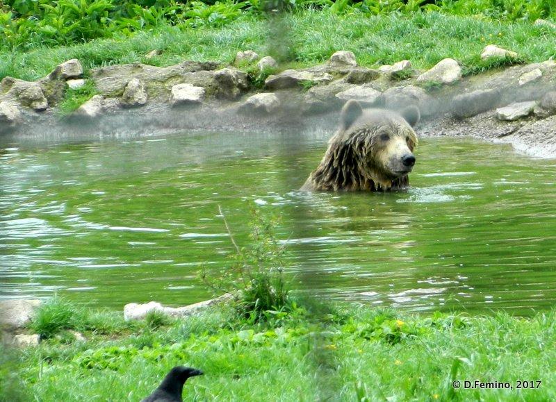 A nice swim (Bear Sanctuary, Romania, 2017)
