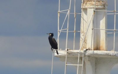 A cormorant on a ship