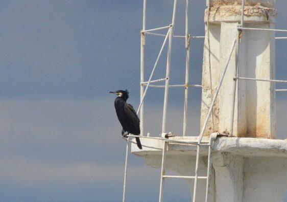A cormorant on a ship