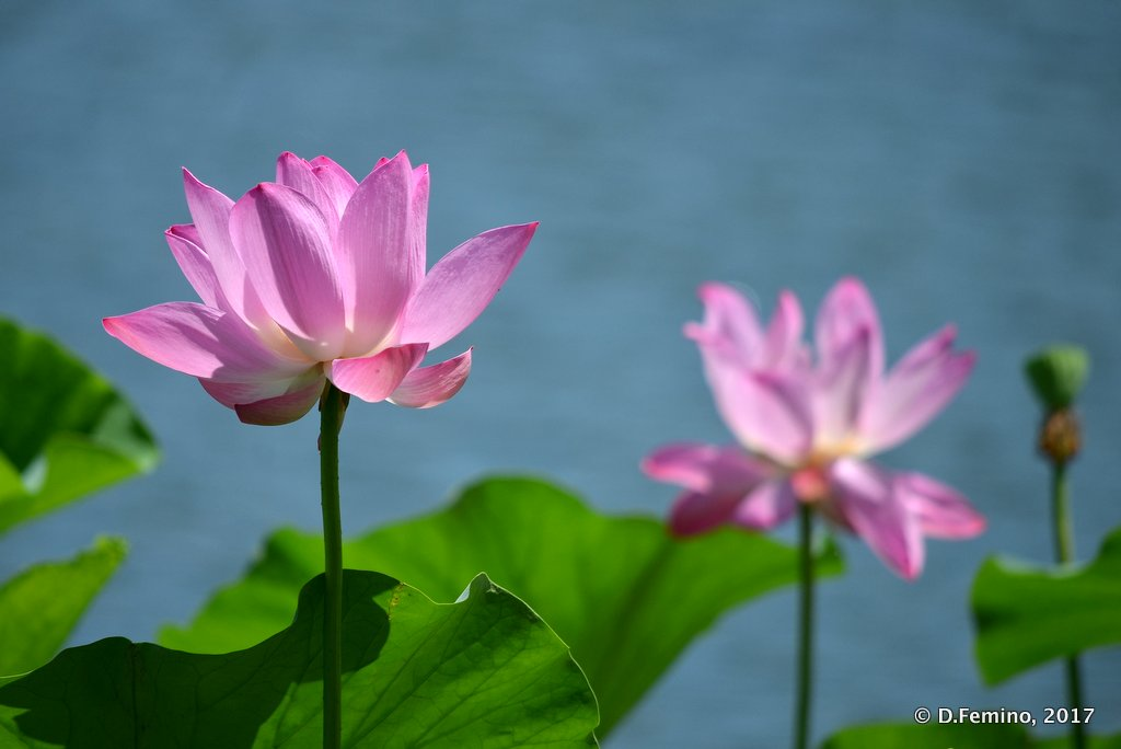 Lotus flowers close-up