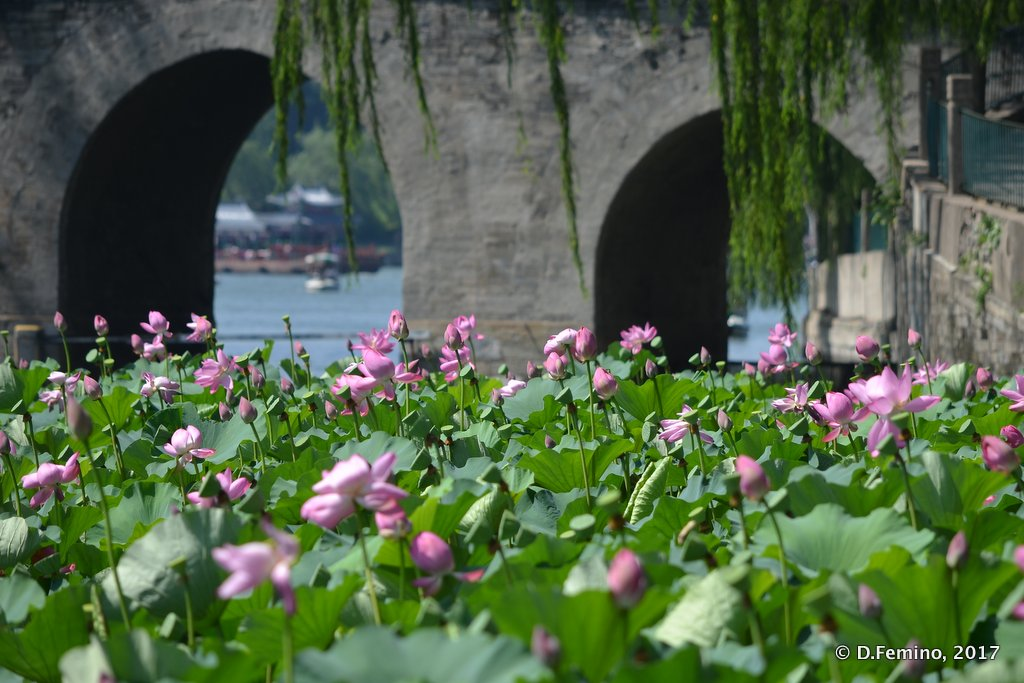Lotus flowers in Beihai park