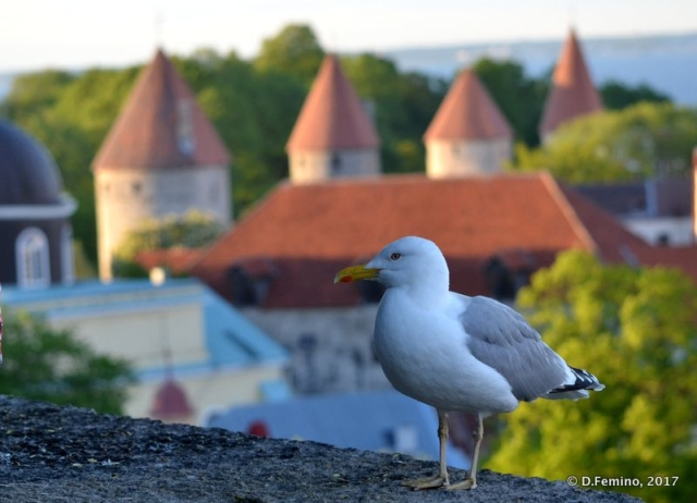 A seagull in the old town (Tallin, Estonia, 2017)