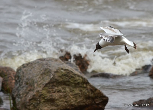 Seagull in gulf of Finland (Peterhof, Russia, 2017)