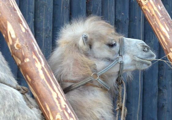 Camel in Tobolsk'