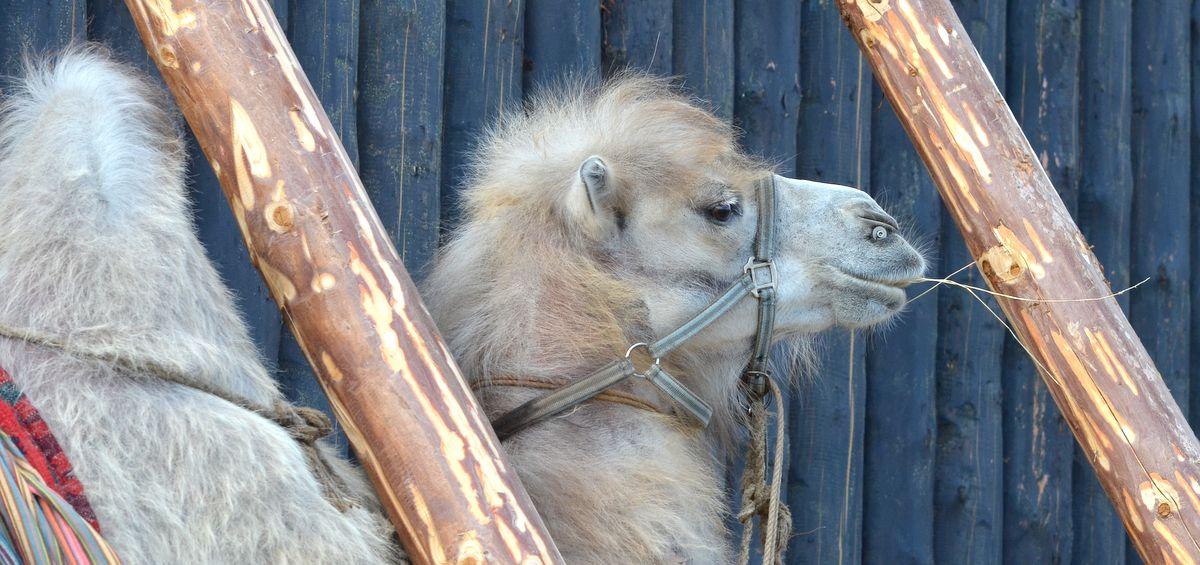 Camel in Tobolsk'