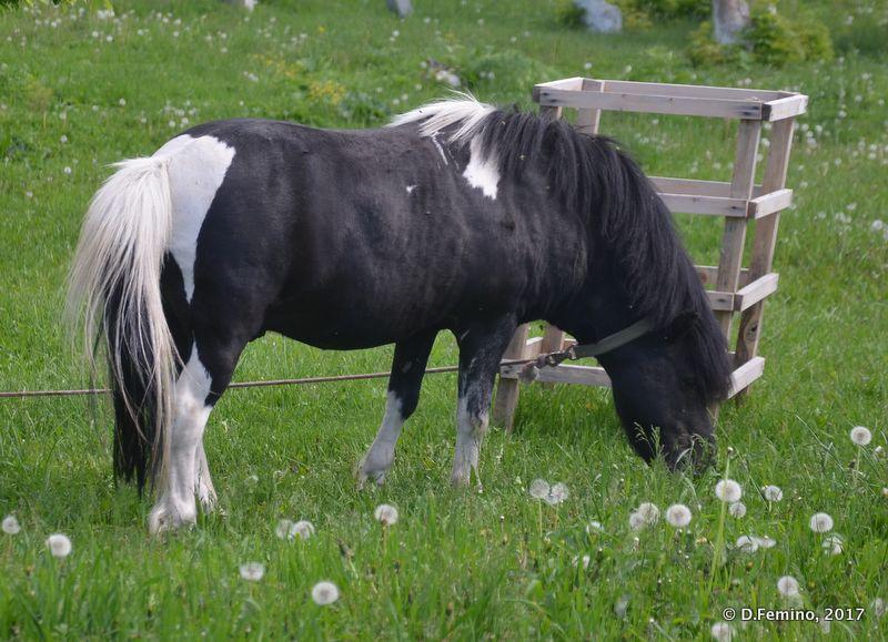Pony (Abalak, Russia, 2017)